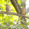 Mourning Doves <br /> City of Bridgeton <br /> St. Louis County, Missouri <br /> 2008-09-13