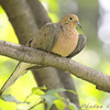Mourning Dove <br /> City of Bridgeton <br /> St. Louis County, Missouri <br /> 2008-09-13