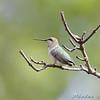 Ruby-throated Hummingbird <br /> City of Bridgeton <br /> St. Louis County, Missouri <br /> 2008-09-13