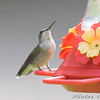 Ruby-throated Hummingbird <br /> City of Bridgeton <br /> St. Louis County, Missouri <br /> 2008-09-13