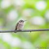 Ruby-throated Hummingbird <br /> City of Bridgeton <br /> St. Louis County, Missouri <br /> 2008-09-14