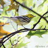 Black-throated Green Warbler <br /> City of Bridgeton <br /> St. Louis County, Missouri <br /> 2008-09-29