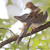 Mourning Dove <br /> City of Bridgeton <br /> St. Louis County, Missouri <br /> 2008-09-30
