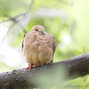 Mourning Dove <br /> City of Bridgeton <br /> St. Louis County, Missouri <br /> 2008-09-14