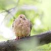 Mourning Dove <br /> City of Bridgeton <br /> St. Louis County, Missouri <br /> 2008-09-14