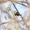 Yellow-headed Blackbird <br /> Columbia Bottom Conservation Area