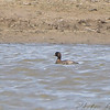 Scaup <br /> Columbia Bottom Conservation Area