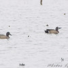 Blue-winged Teal <br /> Columbia Bottom Conservation Area