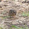 Vesper Sparrows <br /> Orton Road <br /> Riverlands Migratory Bird Sanctuary