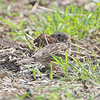 Vesper Sparrow <br /> Orton Road <br /> Riverlands Migratory Bird Sanctuary