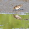 Least Sandpiper <br /> East side of Heron Pond Trail <br /> Riverlands Migratory Bird Sanctuary