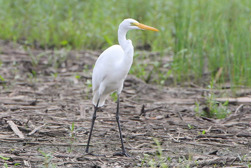 Great Egret <br /> South end of Heron Pond <br /> Riverlands Migratory Bird Sanctuary