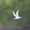 Least Tern <br /> South end of Heron Pond <br /> Riverlands Migratory Bird Sanctuary