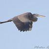 Great Blue Heron <br /> East side of Heron Pond Trail <br /> Riverlands Migratory Bird Sanctuary
