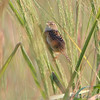 Sedge Wren <br /> East side of Heron Pond Trail <br /> Riverlands Migratory Bird Sanctuary