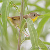 Common Yellowthroat female <br /> Two Pecan Trail <br /> Riverlands Migratory Bird Sanctuary
