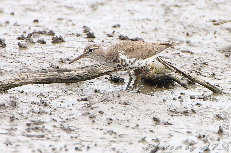 Spotted Sandpiper <br /> South end of Heron Pond <br /> Riverlands Migratory Bird Sanctuary