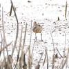 Short-billed Dowitcher <br /> North end of Heron Pond <br /> Riverlands Migratory Bird Sanctuary