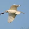 Great Egret <br /> East side of Heron Pond Trail <br /> Riverlands Migratory Bird Sanctuary
