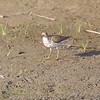 Spotted Sandpiper <br /> East side of Heron Pond Trail <br /> Riverlands Migratory Bird Sanctuary