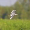Little Blue Heron <br /> East side of Heron Pond Trail <br /> Riverlands Migratory Bird Sanctuary