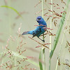 Indigo Bunting <br /> West side of Heron Pond Trail <br /> Riverlands Migratory Bird Sanctuary