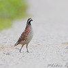 Northern Bobwhite <br /> Orton Road <br /> Riverlands Migratory Bird Sanctuary