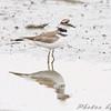 Killdeer <br /> South end of Heron Pond <br /> Riverlands Migratory Bird Sanctuary