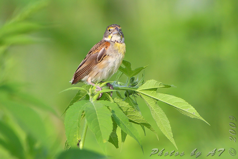 Dickcissel <br /> East side of Heron Pond Trail <br /> Riverlands Migratory Bird Sanctuary