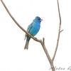 Indigo Bunting <br /> North end of Heron Pond <br /> Riverlands Migratory Bird Sanctuary