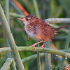 """This was taken Aug. 5th and added to this gallery so it would show under <br /> the """"Map This"""" button in the upper right with this days photos. <br /> Marsh Wren <br /> Just West of Heron Pond Trail, West side. <br /> Riverlands Migratory Bird Sanctuary <br /> <a href=""""/gallery/9172479_25e65""""><font color=blue>See 08-05-09 photos here</font></a>"""