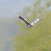 Little Blue Heron <br /> South end of Heron Pond <br /> Riverlands Migratory Bird Sanctuary