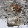 Green Heron <br /> South end of Heron Pond <br /> Riverlands Migratory Bird Sanctuary