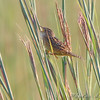 Sedge Wren <br /> East side of Heron Pond Trail <br /> Riverlands Migratory Bird Sanctuary <br /> <br /> No. 259 on my Lifetime List of Bird Species <br /> Photographed in Missouri.