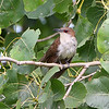 Black-billed Cuckoo <br /> Two Pecan Trail <br /> Riverlands Migratory Bird Sanctuary