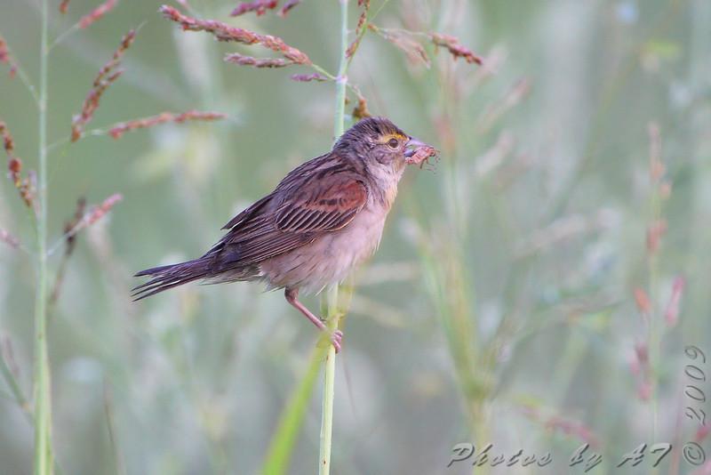 Dickcissel <br /> Heron Pond Trail, West side <br /> Riverlands Migratory Bird Sanctuary