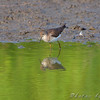 Solitary Sandpiper <br /> Heron Pond Trail, East side <br /> Riverlands Migratory Bird Sanctuary