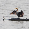 Double-crested Cormorant <br /> Ellis Bay <br /> Riverlands Migratory Bird Sanctuary