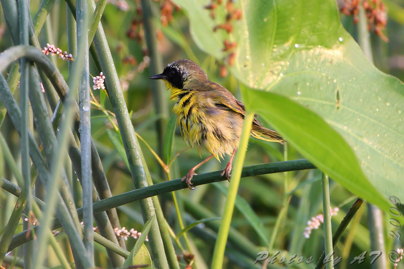 Common Yellowthroat <br /> Just West of Heron Pond Trail, West side <br /> Riverlands Migratory Bird Sanctuary