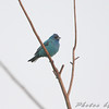 Indigo Bunting <br /> Heron Pond Trail, West side <br /> Riverlands Migratory Bird Sanctuary