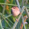 Marsh Wren <br /> Just West of Heron Pond Trail, West side <br /> Riverlands Migratory Bird Sanctuary