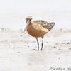 Short-billed Dowitcher <br /> Heron Pond