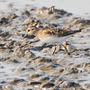 Least Sandpiper <br /> Heron Pond Trail, East side <br /> Riverlands Migratory Bird Sanctuary