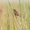 Sedge Wren <br /> Heron Pond Trail, East side <br /> Riverlands Migratory Bird Sanctuary
