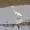 Great Egret <br /> Maple Island Road <br /> Dam causeway wetlands <br /> Riverlands Migratory Bird Sanctuary