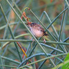 Marsh Wren <br /> Just West of Heron Pond Trail, West side <br /> Riverlands Migratory Bird Sanctuary