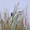 Indigo Bunting at 6am <br /> Heron Pond Trail, West side <br /> Riverlands Migratory Bird Sanctuary