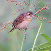 Dickcissel <br /> Heron Pond Trail, West side <br /> Riverlands Migratory Bird Sanctuary