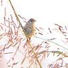 Sedge Wren <br /> Heron Pond Trail, West side <br /> Riverlands Migratory Bird Sanctuary