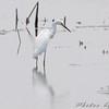 Great Egret <br /> Heron Pond